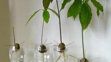家にあるもので簡単に始められるアボカド栽培☆