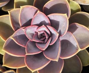 育てやすい人気の多肉植物エケベリア20選