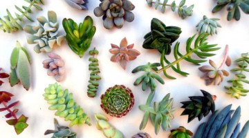 これでわかる多肉植物の種類16属と楽しみ方♪