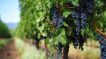 南アフリカワイン美味しさの秘密を探る歴史の旅
